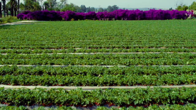Strawberry field. Aerial view video