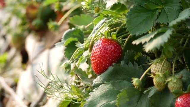 Strawberry Field or Strawberry video