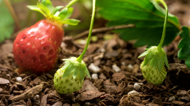 Strawberry growing and ripening in garden time lapse