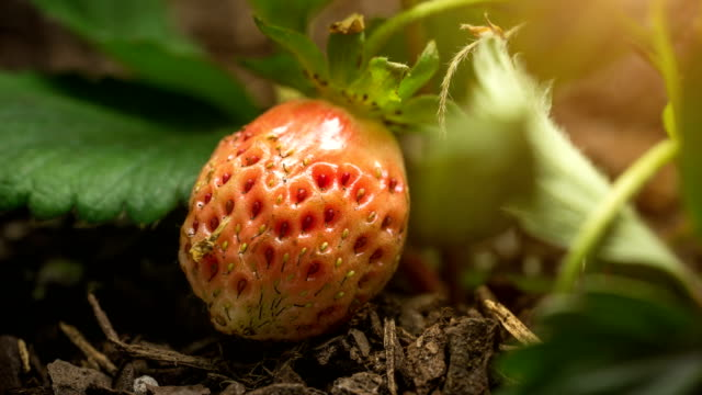 vídeos de stock e filmes b-roll de strawberry growing time lapse macro - strawberry