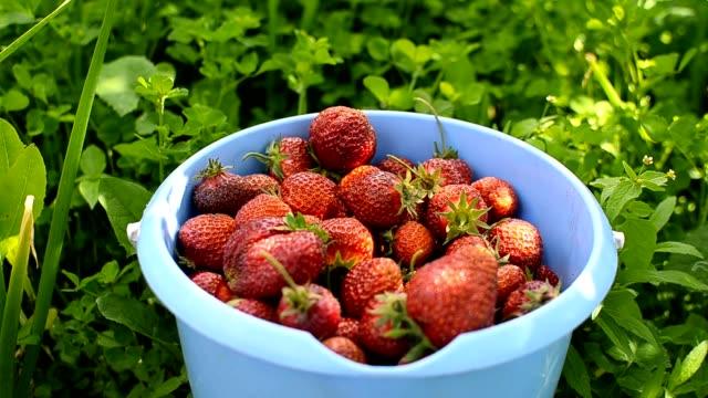 erdbeere in einem eimer - eimer stock-videos und b-roll-filmmaterial