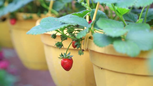 strawberry in the pot strawberry in the pot flower pot stock videos & royalty-free footage