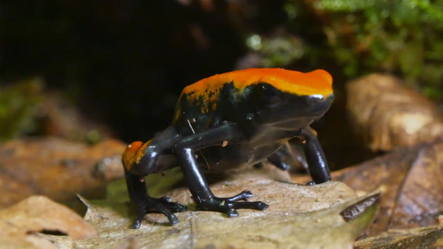 Strawberry Poison Dart Frog Dendrobates Pumilio video