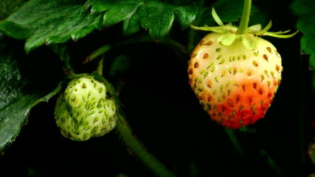 Strawberry ripen video