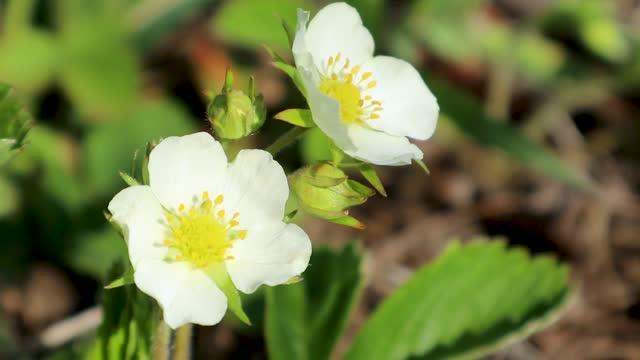 Strawberry spring white flowers bloom in garden