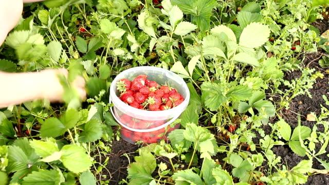 Strawberry. video