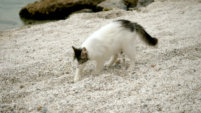 Stray cat burying something in sand on beach of Greece. Slow motion. HD Homeless cat burying something in sand on beach of Greece. Slow motion. HD tortoise shell stock videos & royalty-free footage
