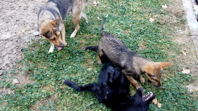 Stray dogs fighting in park video
