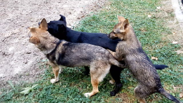 Stray dogs playing in park video