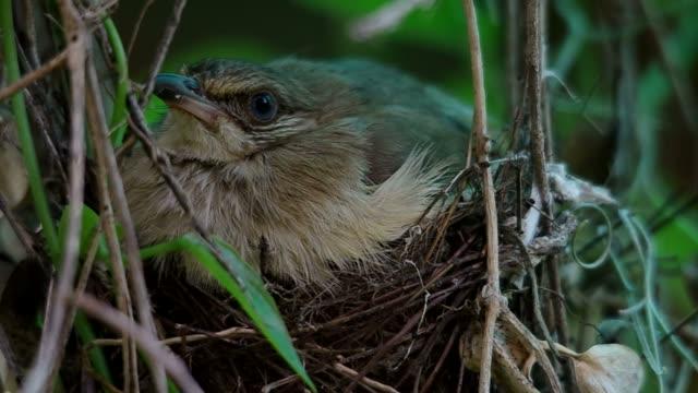 Streak-eared Bubul resting on the nest video