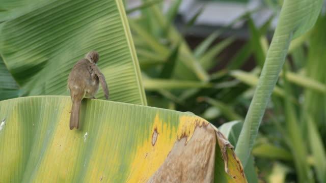 Streak-eared Bulbul cleaning its wing video