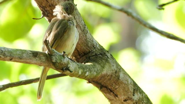 Streak-Eared Bulbul (Pycnonotus blanfordi) video