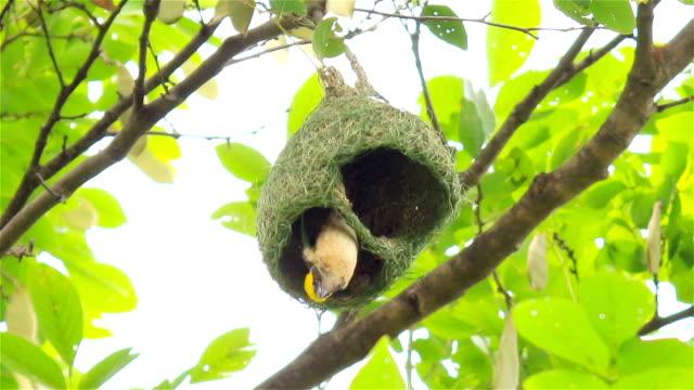 Streaked Weaver bird makes the nest video