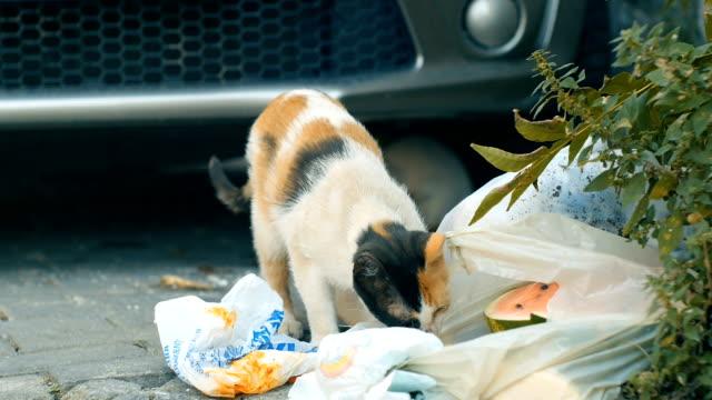 stockvideo's en b-roll-footage met straat kat op zoek naar voedsel - eén dier