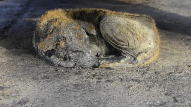 vídeos de stock, filmes e b-roll de cães de rua, morrendo por causa da sarna - morte