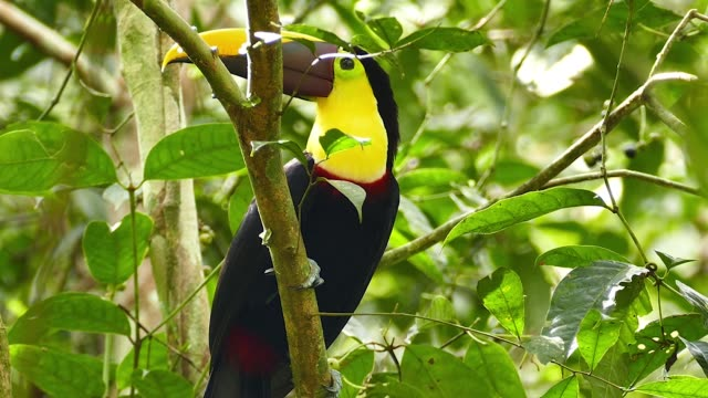 Striking toucan with purple and yellow bill hopping up and away - HD
