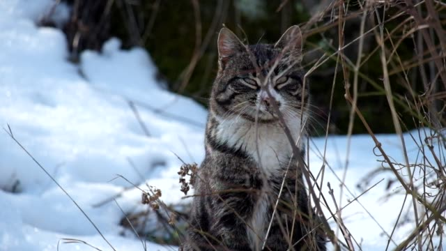 Striped cat sitting among dry grass and snow video