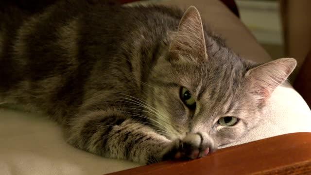 緑の目に縞模様の猫クローズ アップ - ふわふわ点の映像素材/bロール