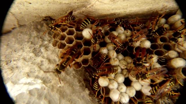 gestreifte gelb-orange-wespen sind auf seine honeycomb-closeup bewegen. - wespe stock-videos und b-roll-filmmaterial