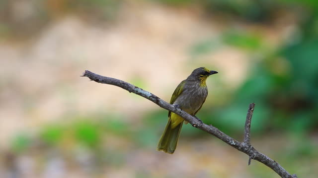 Stripe-throated Bulbul Bird, standing on a branch in nature Stripe-throated Bulbul Bird, standing on a branch in nature of thailand animal limb stock videos & royalty-free footage
