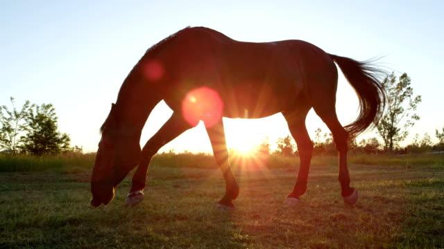 close up low angle: forte cavallo marrone che guarda sul prato al tramonto dorato - stallone video stock e b–roll