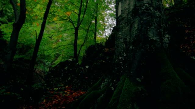 starke wurzeln der alten wald baum mit grünem moos bedeckt - baumgruppe stock-videos und b-roll-filmmaterial