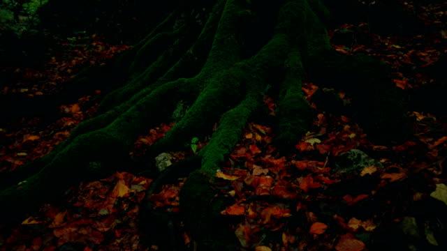 starke wurzeln der alten baum mit grünem moos bedeckt - baumgruppe stock-videos und b-roll-filmmaterial