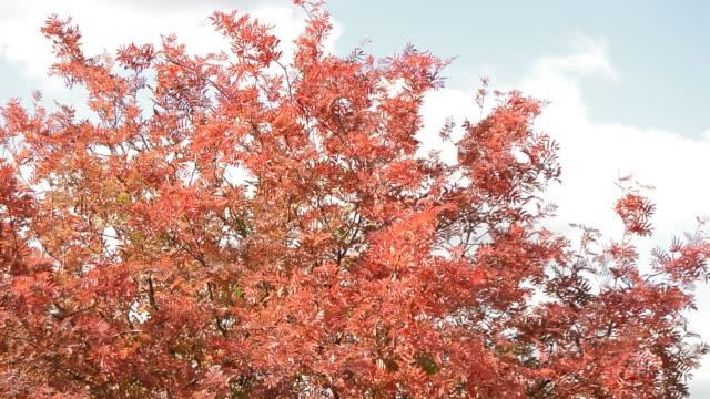 stark vind skakar trädgrenar med röda och orange blad, grumlig höstlandskap - lucia bildbanksvideor och videomaterial från bakom kulisserna