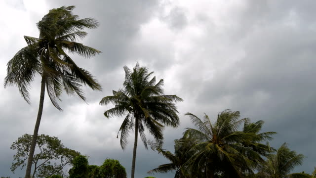 Strong winds shook the Coconut palm trees before a storm in rainy season of Thailand. video