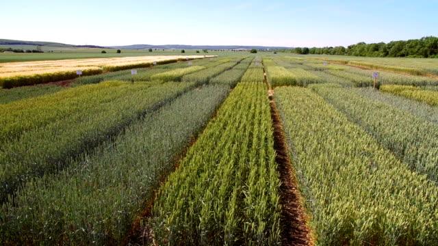 vidéos et rushes de études des variétés de blé et de seigle. survoler le champ de parcelles pour la recherche sur les cultures. les scientifiques testent l'effet des maladies sur le blé et seigle - herbicide
