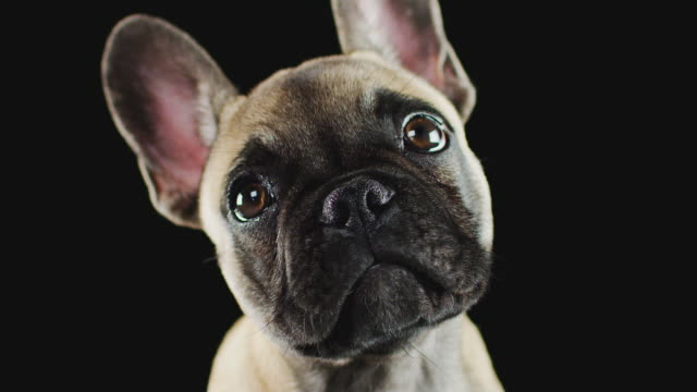 Studio Portrait Of French Bulldog Puppy Against Black Background