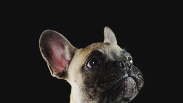 studio shot of french bulldog puppy licking lips against black background - leccare video stock e b–roll