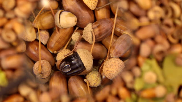 Study with a magnifying glass, rotating background made from acorns. Black acorn video