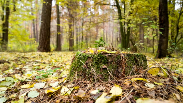 Stump overgrown by green moss in autumn forest. video