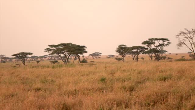 close up: atemberaubende afrikanische savanne wiesen und endlosen ebenen am goldenen sonnenuntergang - savanne stock-videos und b-roll-filmmaterial
