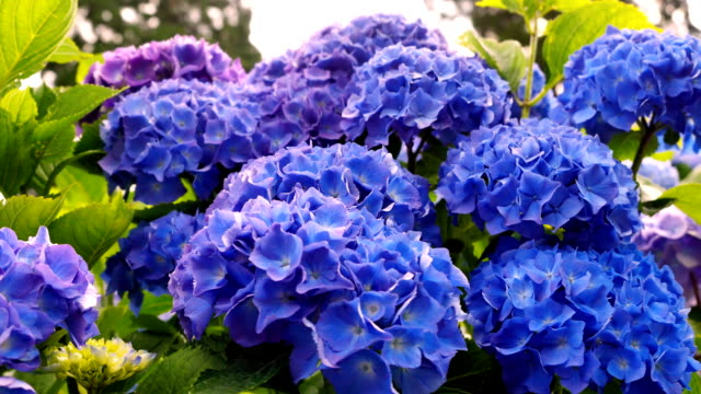 atemberaubenden blauen hortensien nahaufnahme. - hortensie stock-videos und b-roll-filmmaterial