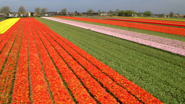 AERIAL: Stunning red, pink and yellow rows of rich flowering tulips on big field video