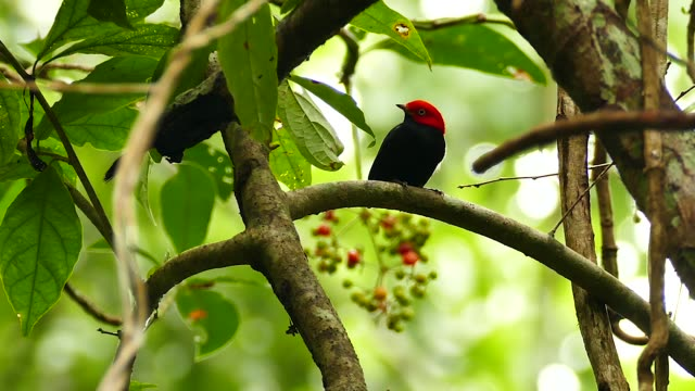 Stunning shot of red capped manakin flying away to feed on fruits - HD