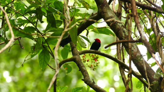 Stunning shot of red capped manakin flying away to feed on fruits