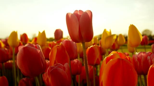 花き公園に咲く鮮やかな壊れやすいチューリップの球根を見事なクローズ アップ。 - チューリップ点の映像素材/bロール