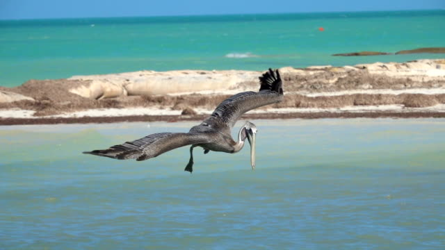 SLOW MOTION, CLOSE UP: Stunning wild pelican bird catching fish in the ocean SLOW MOTION, CLOSE UP: Hungry wild pelican hunting fish in a beautiful emerald sea on the Yucatan peninsula, Mexico. Wild bird dropping from the sky plunging head first into the water to catch a meal pelican stock videos & royalty-free footage