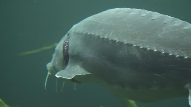 sturgeon close up under water - karp filmów i materiałów b-roll