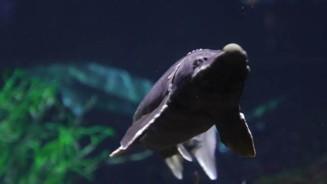 sturgeon swims by underwater dive video