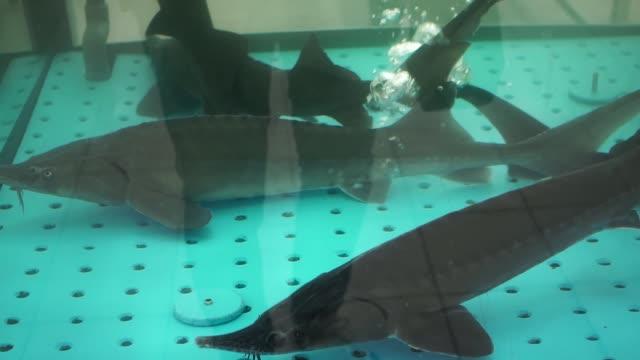 störe im ozeanarium. die störe schwimmen im marin-aquarium unter wasser. - ichthyologie stock-videos und b-roll-filmmaterial
