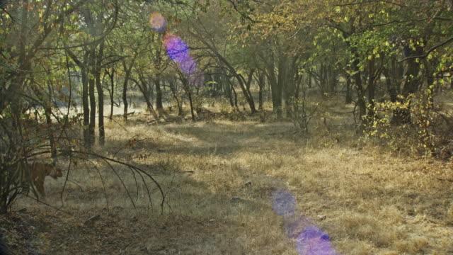 alt yetişkin kaplan yavrusu - kaplan stok videoları ve detay görüntü çekimi