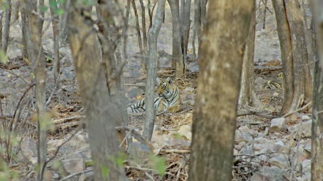 ağacın arkasında alt yetişkin tiger - etçiller stok videoları ve detay görüntü çekimi