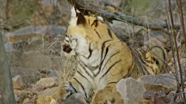 alt yetişkin tiger etrafında izliyor - etçiller stok videoları ve detay görüntü çekimi