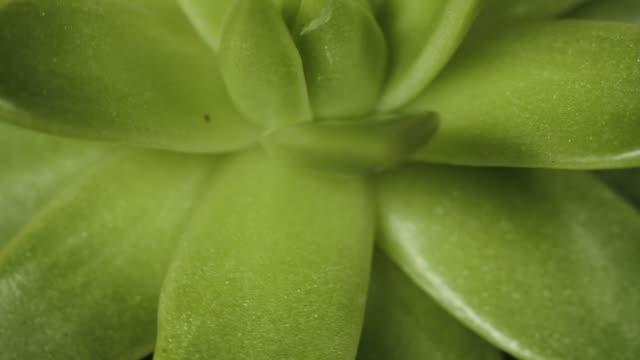 sukkulente pflanze - aloe vera stock-videos und b-roll-filmmaterial