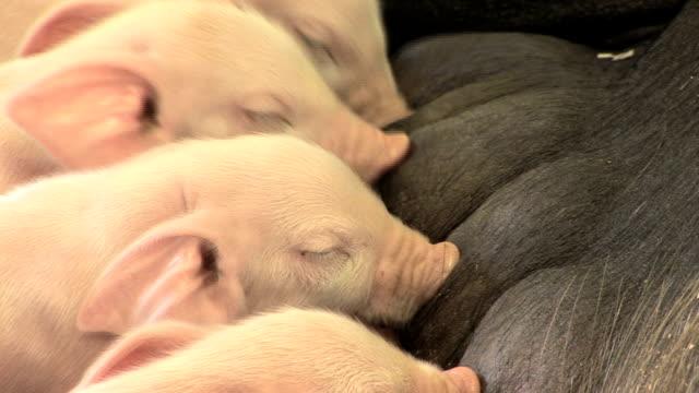 Suckling Piglets video