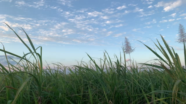 sugar cane blowing in the wind, blue okinawa sky at sunset / sunrise - сахарный тростник стоковые видео и кадры b-roll